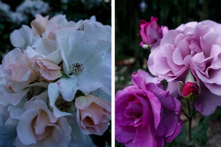 Rose NEW 2